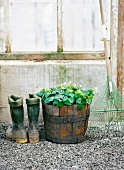 Wellington boots, a plant in a barrel and a garden rake in front of a green house