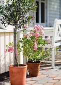 Olive tree and pink rose in planters on terrace