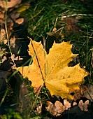 Herbstblatt im Gras