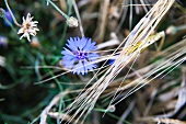 Cornflower in cornfield
