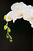White orchids (black background)