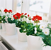 Geraniums and marguerites in flowerpots
