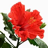 Red hibiscus (close-up)
