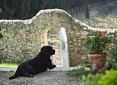 Dog and potted pelargonium in front of stone wall in garden