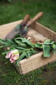 Tulips and garden tools in wooden box on lawn