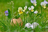 Violas in egg shell vase on lawn