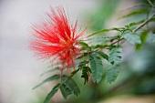 Rote Akazienblüte