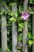 Wooden garden fence with rose mallow