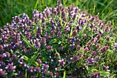 Flowering wild marjoram