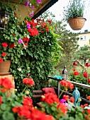 Rote Geranien und orientalische Windlichter auf üppig begrüntem, kleinen Balkon