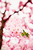 Cherry tree in full blossom with close-up of small twig