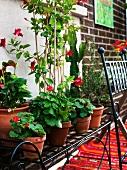 Pots of geraniums