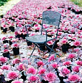 Metal chair in a sea of flower pots filled with purple ornamental cabbage