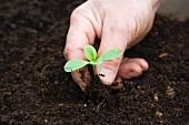 Seedling be planted in soil