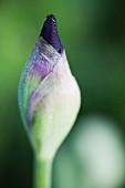 Iris bud (close up)