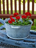 Geraniums in a galvanized pail