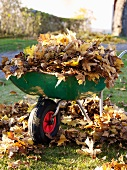 Wheel barrow with autumn leaves