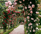 Rose covered arbor in a garden