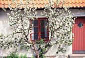 Flowering espalier tree on a farmhouse
