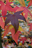 Autumn atmosphere - leaves of different colours on sweet gum tree (Liquidambar Styraciflua 'Festival')
