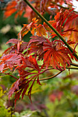 Autumn atmosphere - red and yellow leaves on Japanese maple (Acer japonicum 'Aconitifolium')