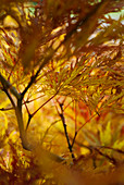 Light falling through yellowed foliage of Japanese maple (Acer japonicum 'Dissectum')