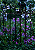 Purple allium and wisteria flowers behind metal rods of classic garden fence