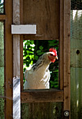 Hen looking through window of shed
