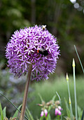 Insect on flowering allium
