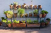 Kräuter und Salat in Terrakottatöpfen auf Pflanzenregal an der Hauswand