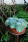 Succulents in terracotta dish on old, French wire bistro chair in garden