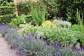 Flowering lavender bushes and herbs in Mediterranean garden