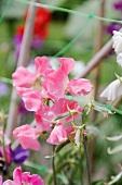 Sweet pea flowers (Lathyrus odoratus)