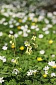 Primulas and wood anemones in garden