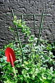 Climbing plant against grey wall with red garden trowel