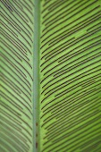 Leaf of bird's nest fern (close-up)