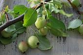 Zieräpfel am Zweig