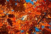 Herbstlicher Ahornbaum