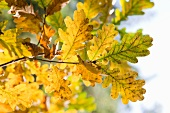 Autumnal oak leaves on the branch