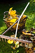Autumn leaves, old rake and wire basket on lawn