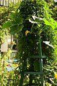 Pumpkin plant climbing up trellis in garden