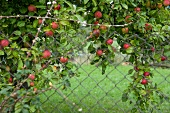 Red apples on the branch in front of wire fence