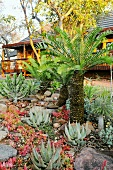 Fern palms and aloes in a South African garden