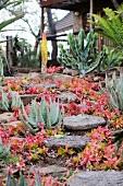 Aloe und Crassula nudicaulis in südafrikanischem Garten