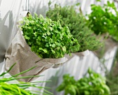 Parsley in hanging bags against a house wall