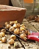 Crocus bulbs on a garden shovel