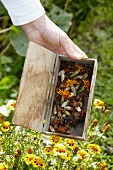 Marigold seeds in a wooden box
