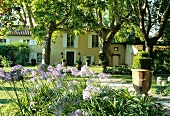 Flowering agapanthus in garden of grand country house