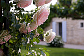 Close-up of delicate roses with blurred facade of Provençal country house in background