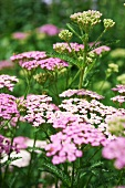 Pink and White Yarrow Growing in a Garden